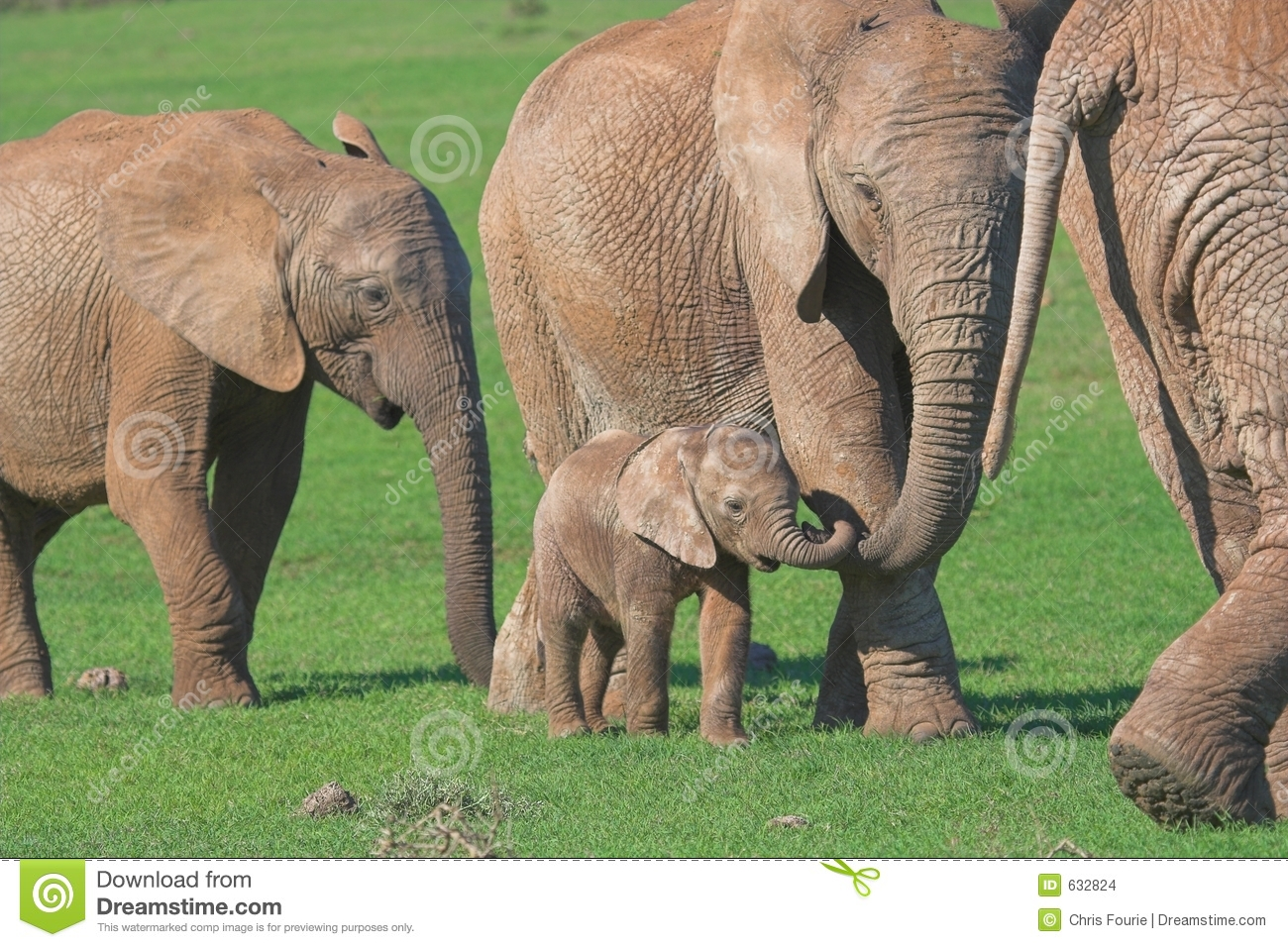 African Elephant Family Stock Images Image 632824