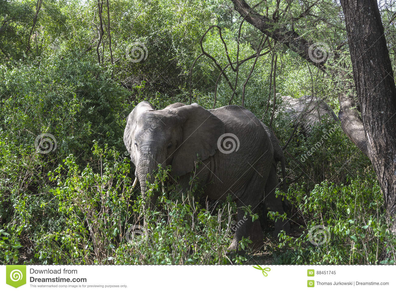 African Elephant in the jungle