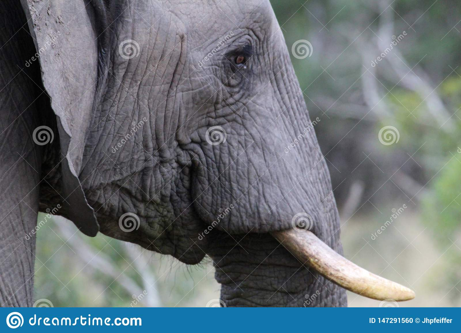 African Elephant in Kruger Nationalpark