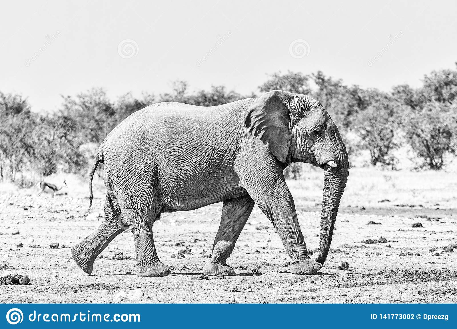 African elephant walking. Monochrome
