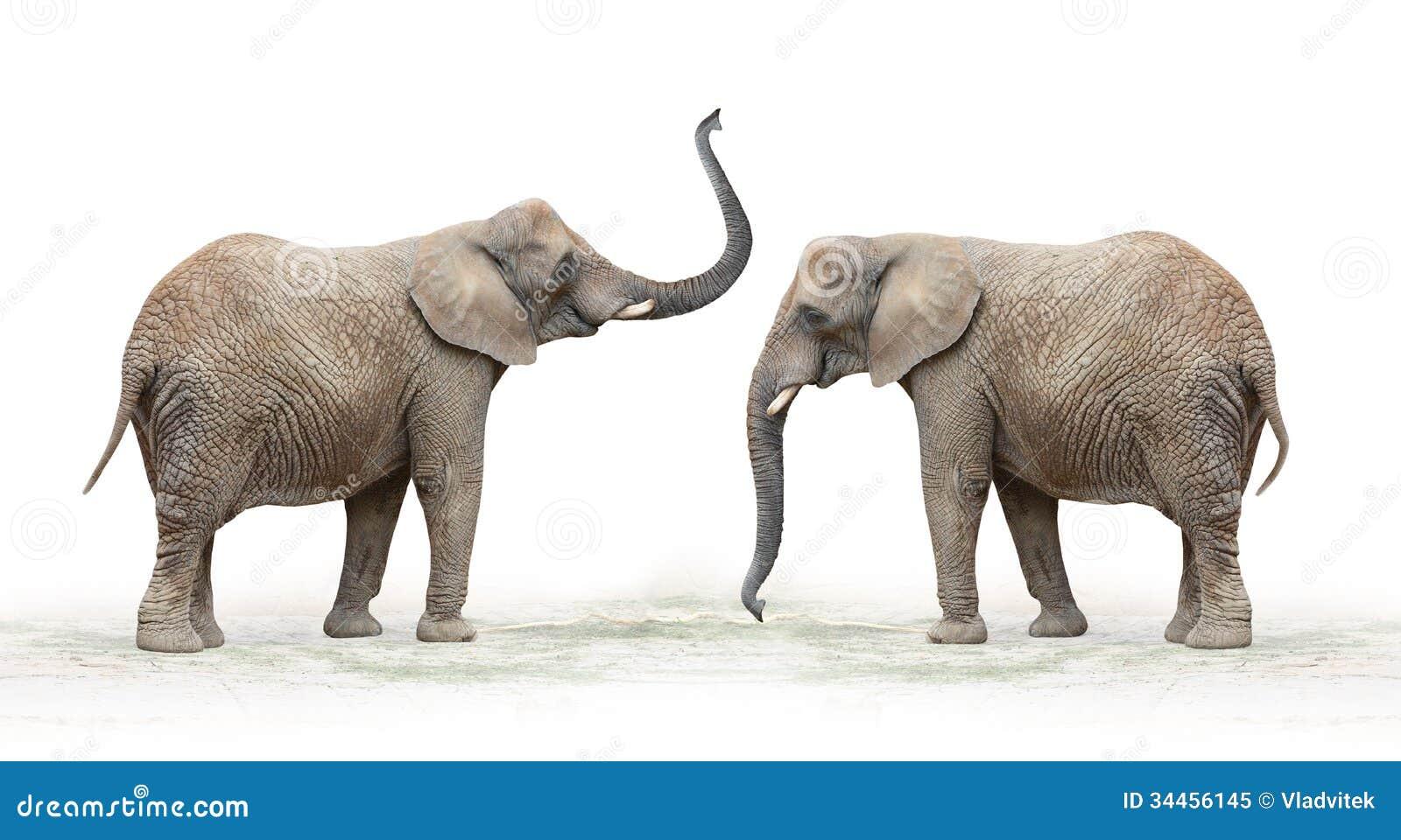 African Elephant Loxodonta Africana Royalty Free Stock