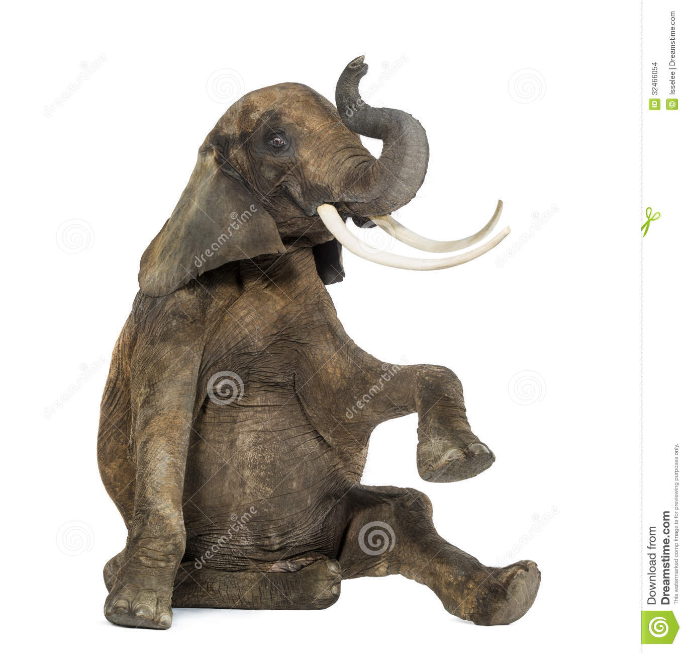 Elephant Trunk Up Trunk up  isolated onAfrican Elephant Drawing Trunk Up