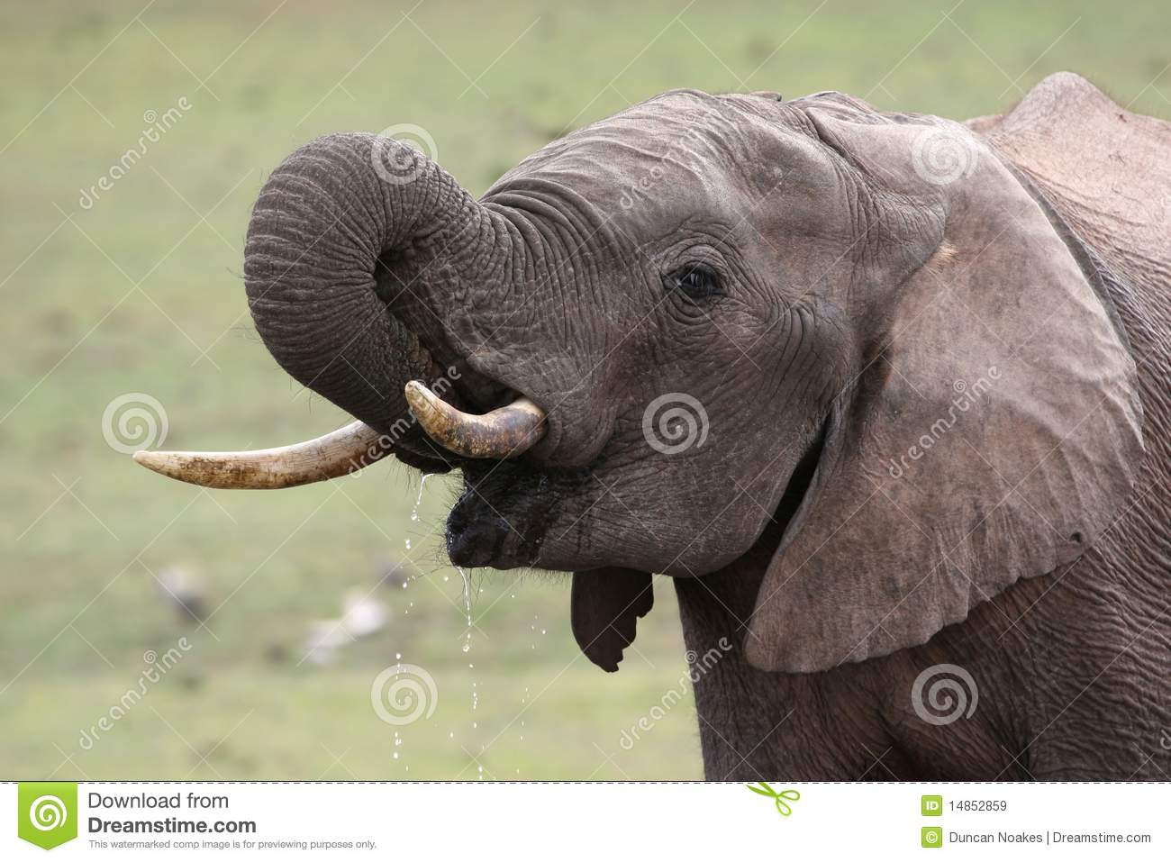 African Elephant Quenching Thirst