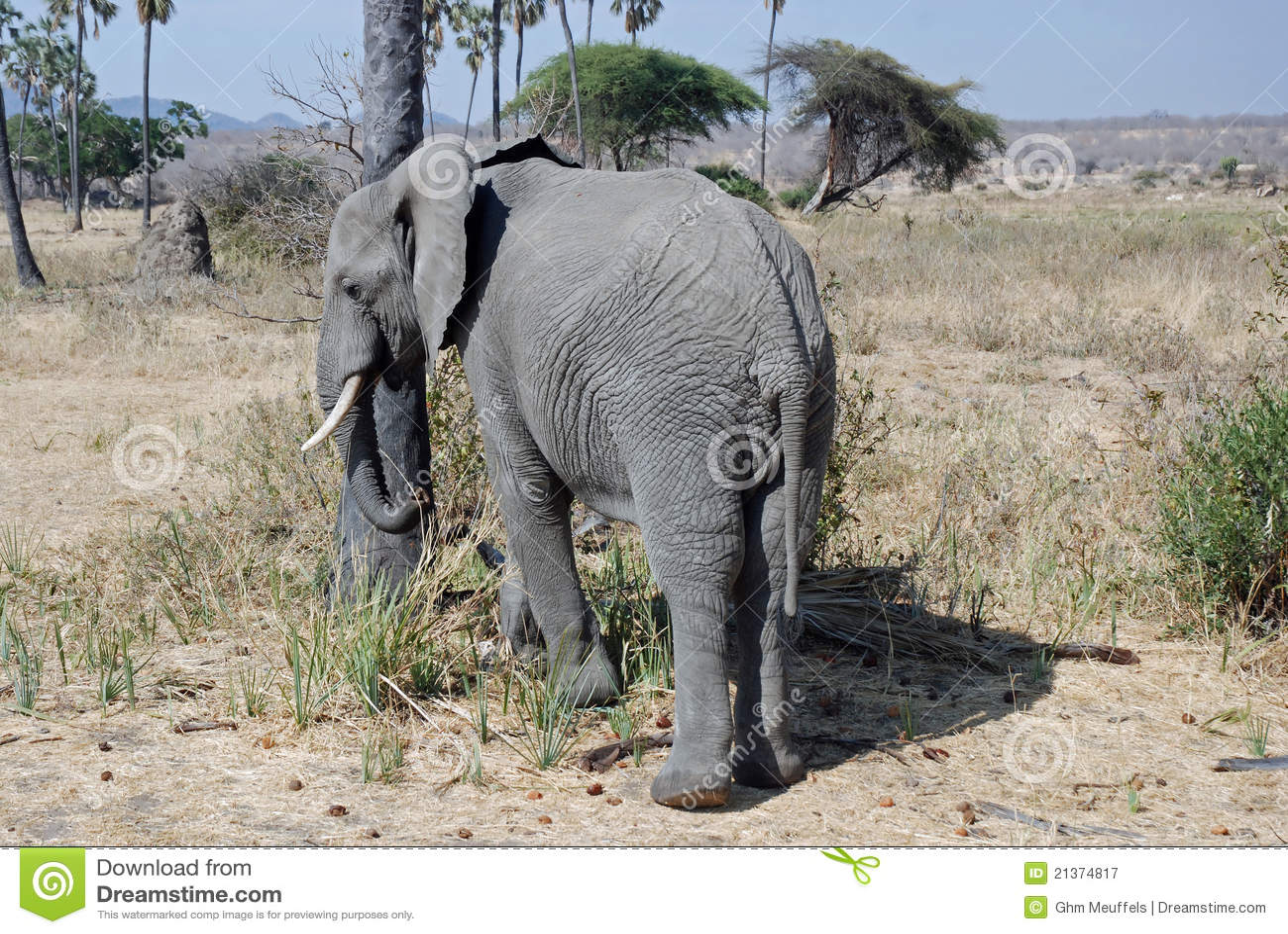 African Elephant with savannah woodland -Tanzania