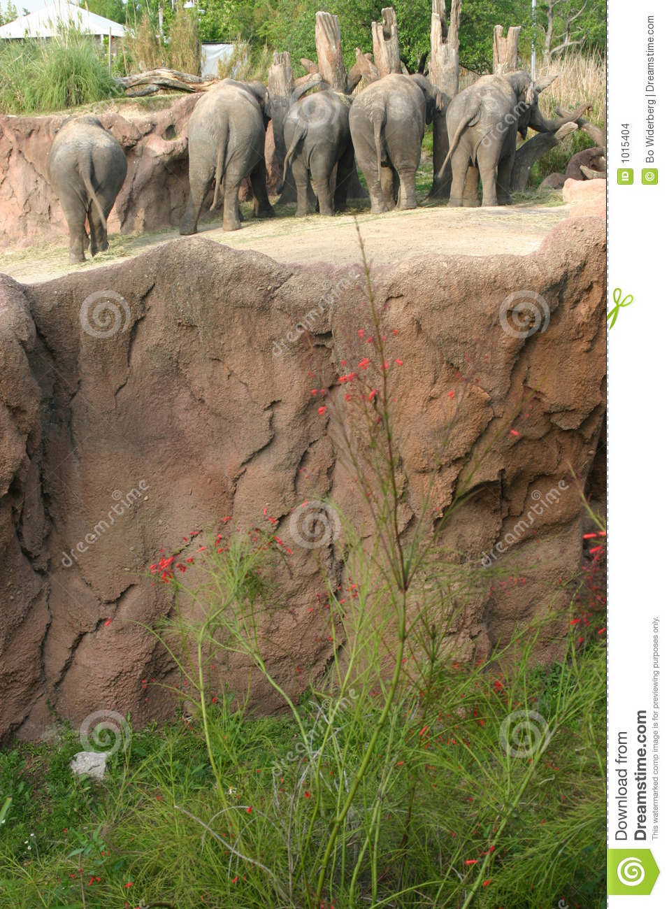 African Elephants At Busch Gardens, Tampa FL Stock Photo - Image of ...