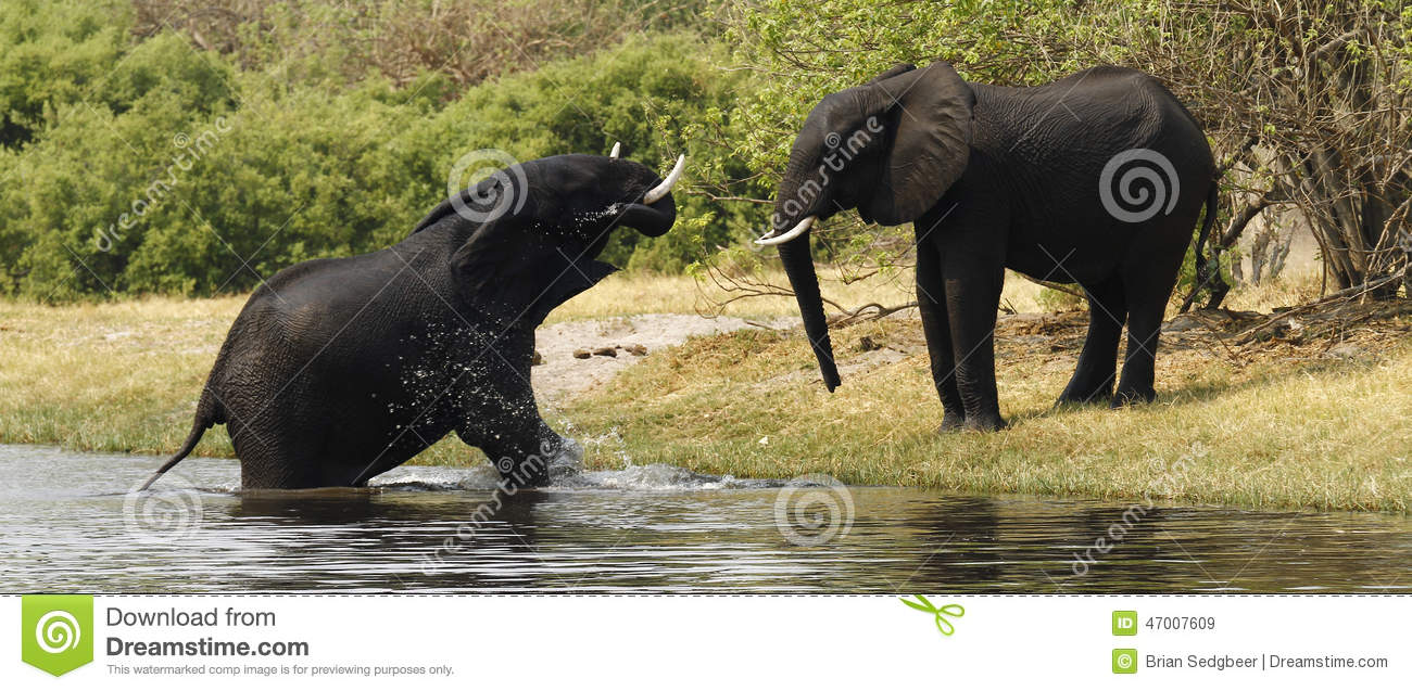 the two species of elephants Basic facts about elephants (cites) to maintain a ban on the sale of ivory as well as on regulations that govern worldwide elephant protection of the two species, african elephants are divided into two subspecies (savannah and forest).