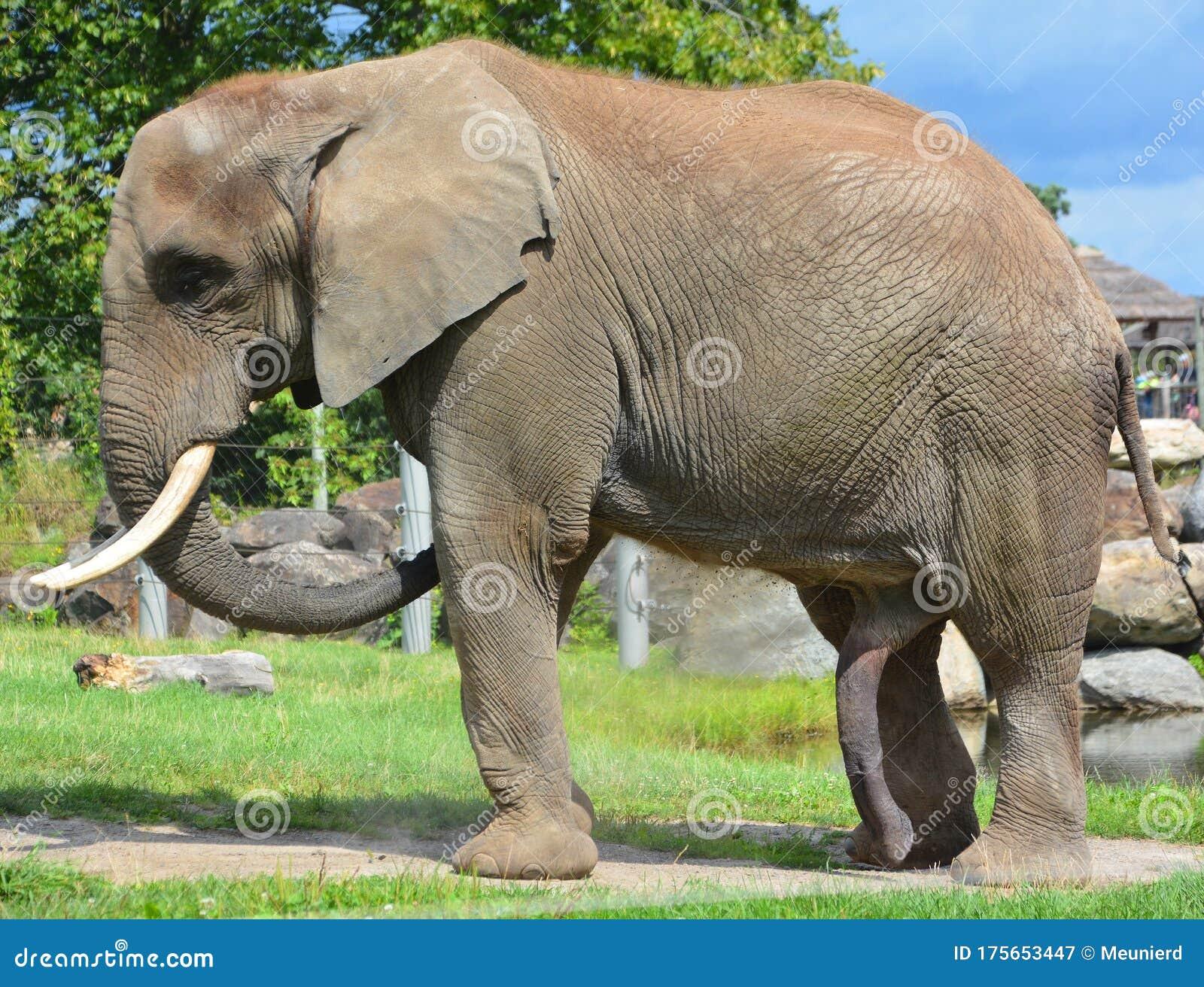Dick elephant The Longest