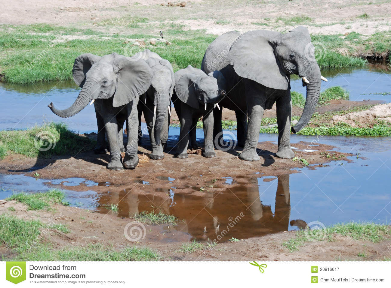 African Elephants with young-Tanzania
