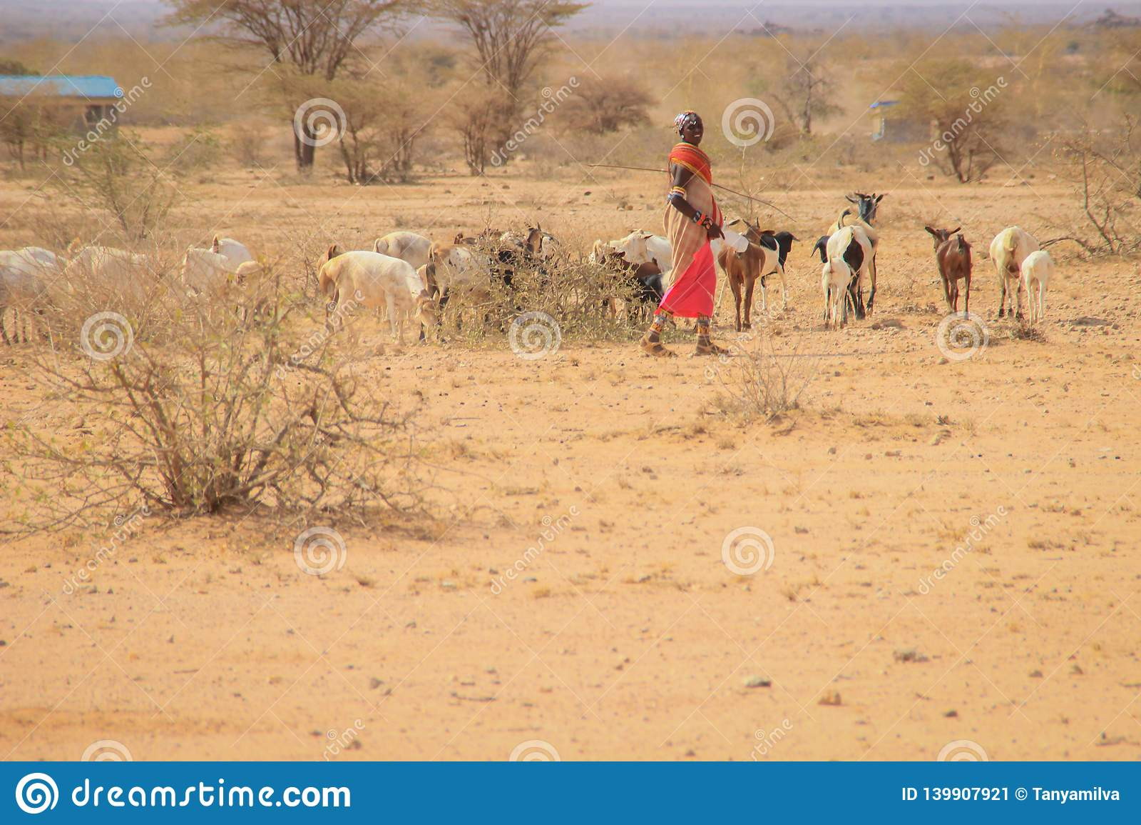 African female shepherd from the Samburu tribe a related Masai tribe in a national costume herding a flock of goats