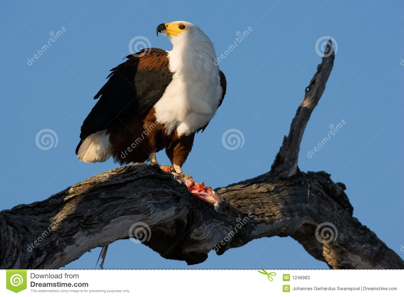 - african-fish-eagle-1246983
