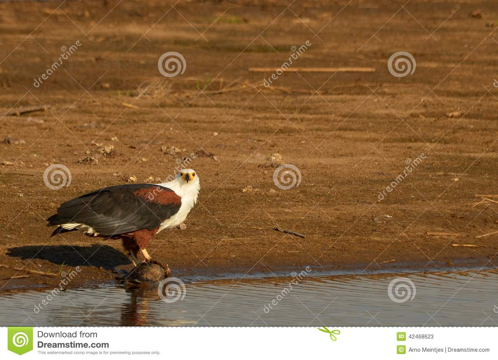 African Fish Eagle (Haliaeetus vocifer)