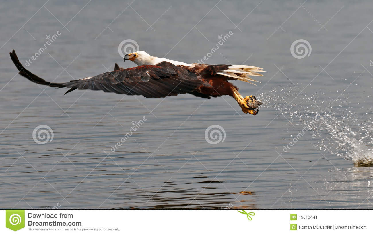 African fish eagle picks up the fish out of water stock for Dream about fish out of water
