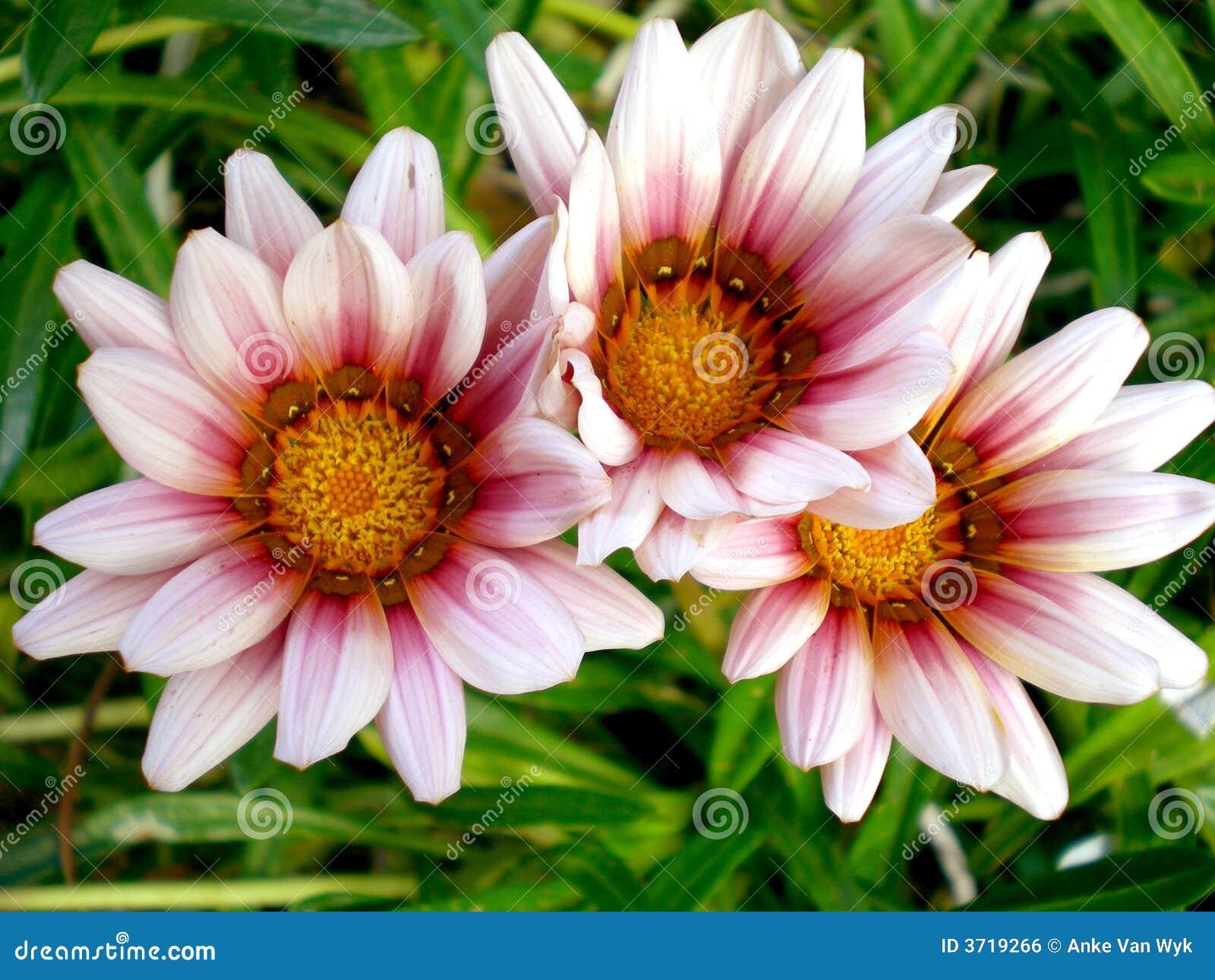 African Gazania flowers