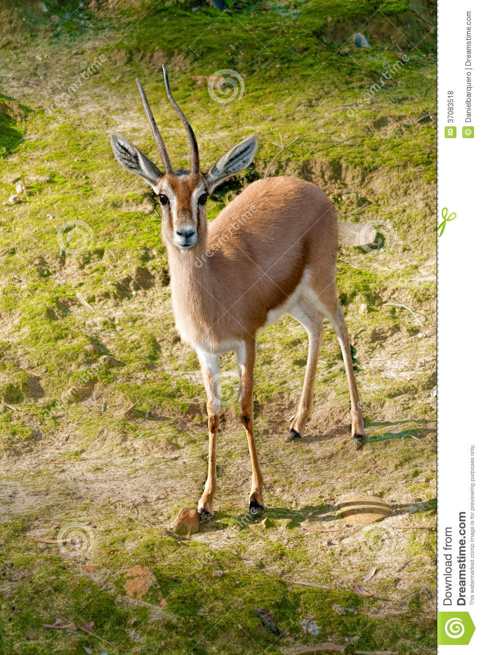 african gazelle royalty free stock photos image 37083518