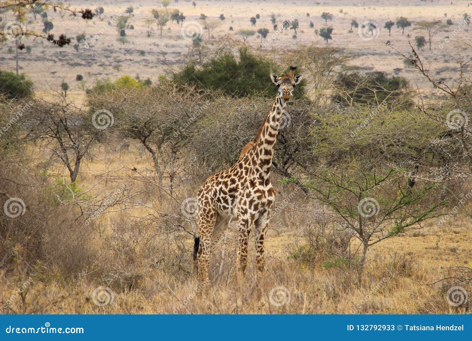 African giraffes graze in the savannah. Wildlife Africa.