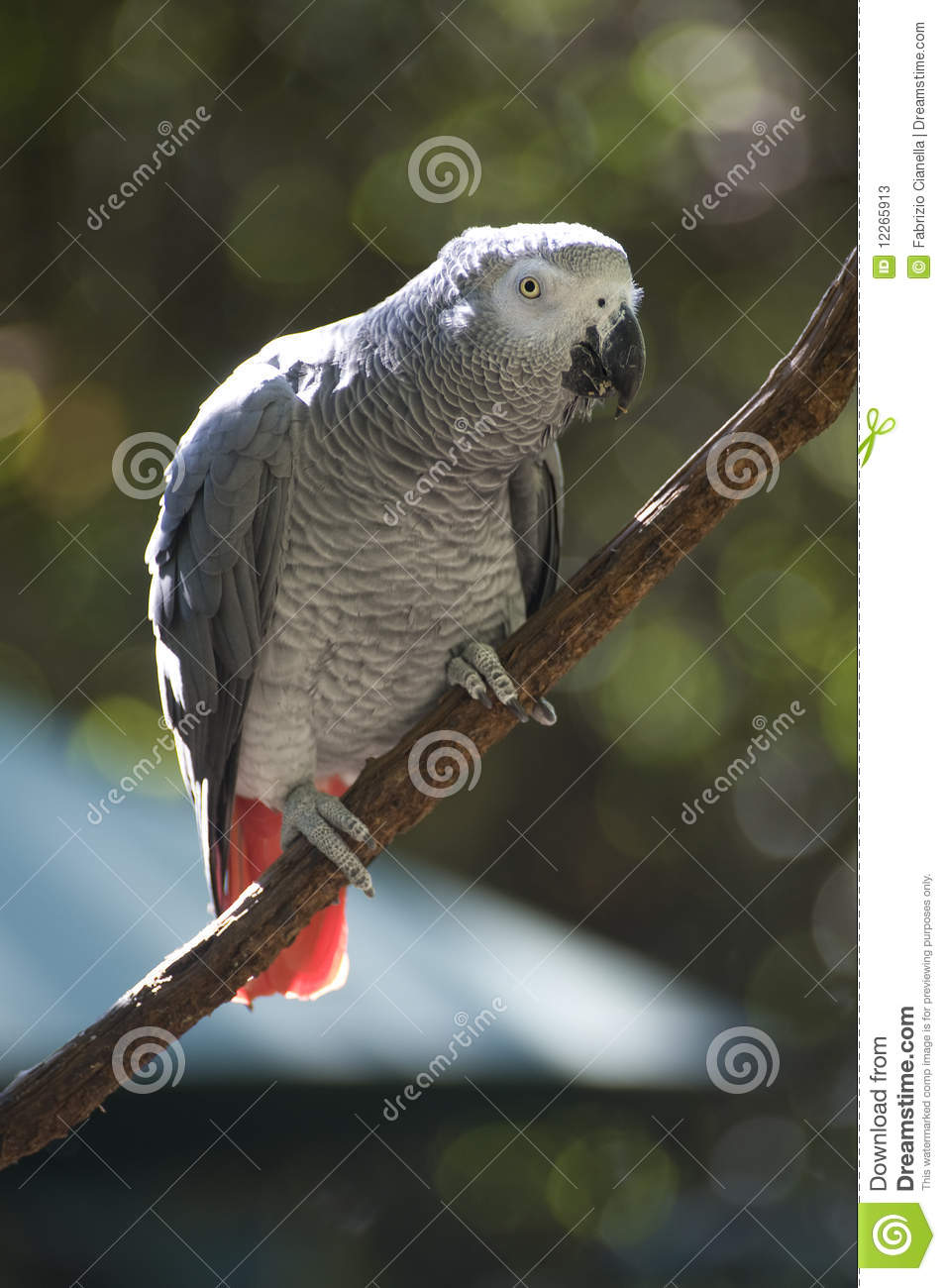 how to train wild african grey parrot