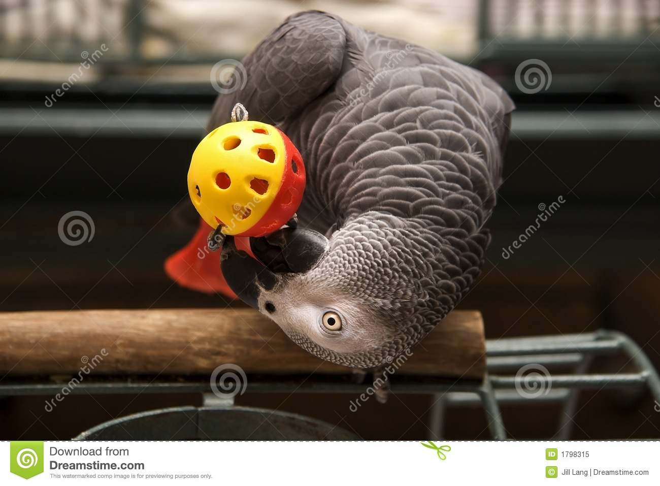 African grey playing royalty free stock photo image 1798315 for Silverleaf com