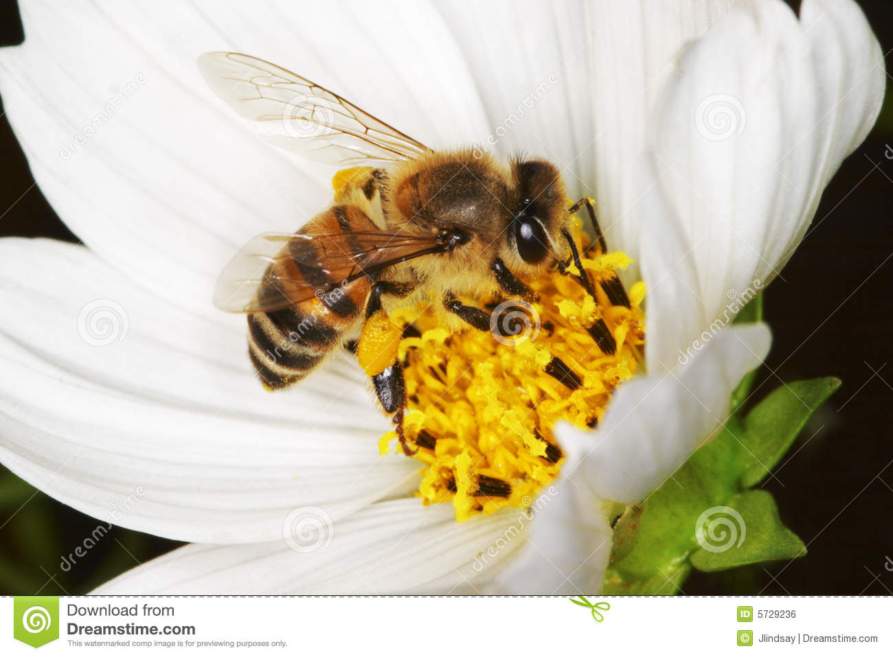 African honey bee on a white flower