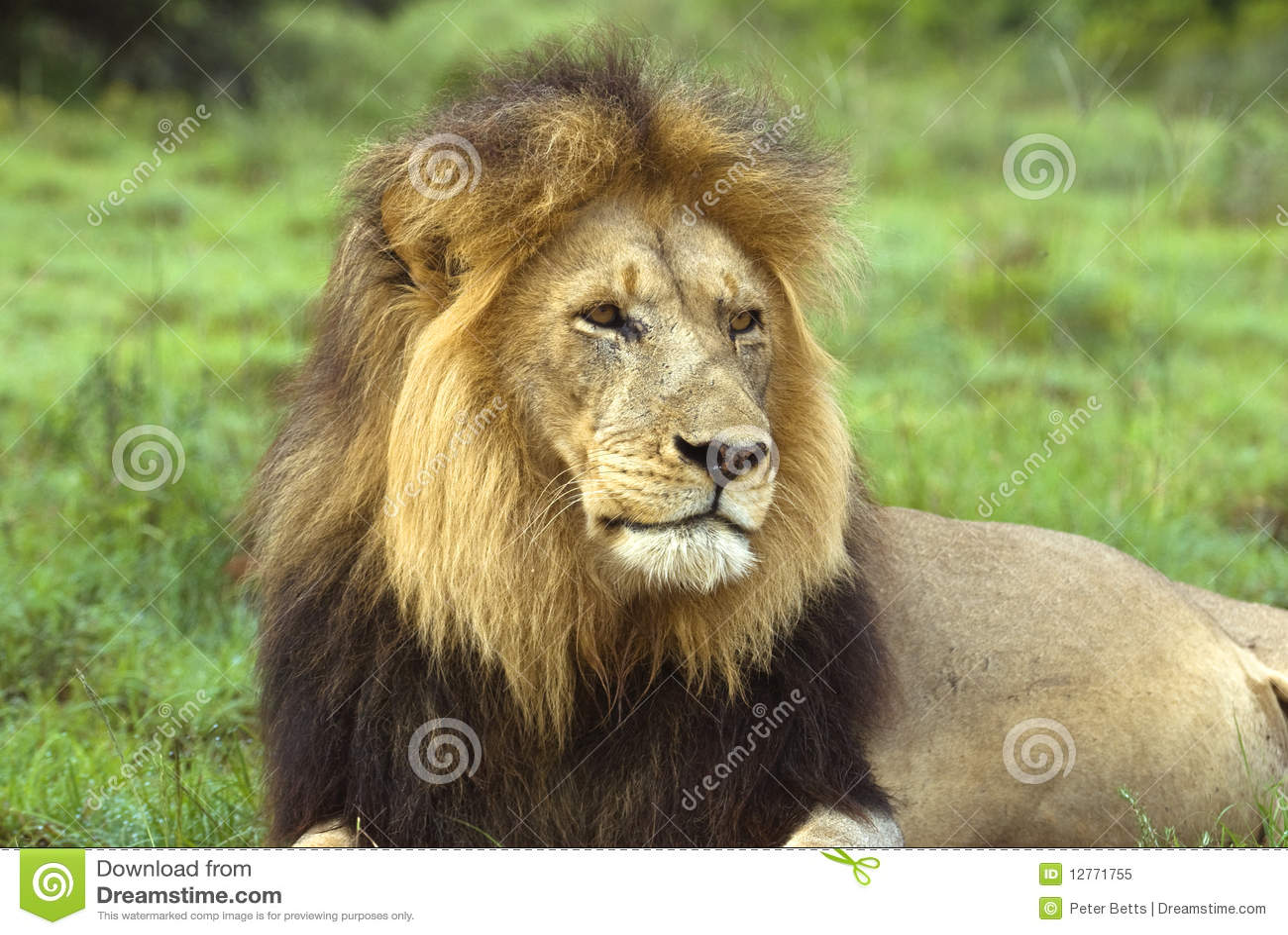 African Icon Lion Royalty Free Stock Photo - Image: 12771755: dreamstime.com/royalty-free-stock-photo-african-icon-lion...