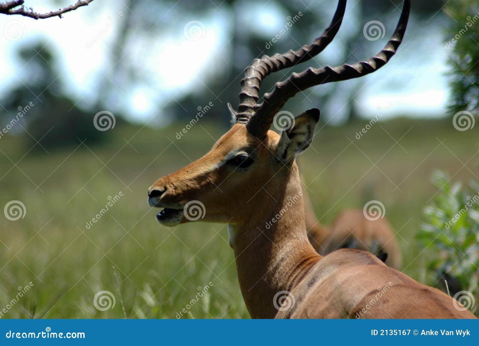 african impala antelope stock image image of gazelle. Black Bedroom Furniture Sets. Home Design Ideas