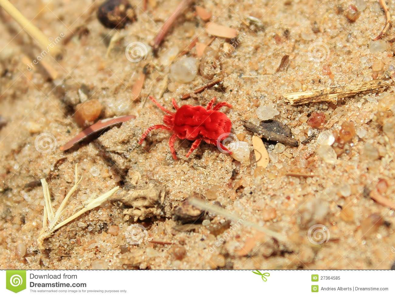 African Insects Of Color Red Velvet Tick Stock Image