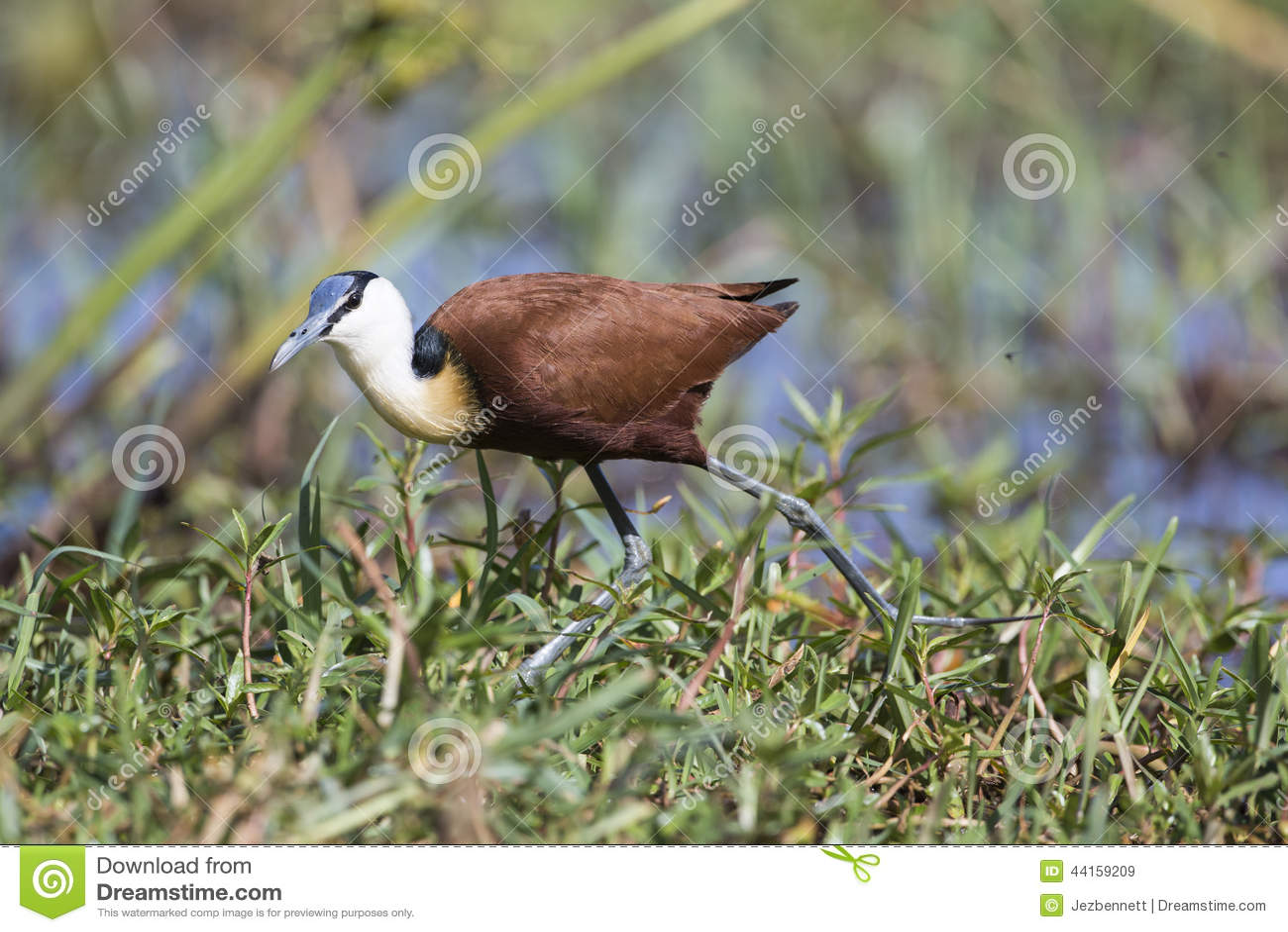 African Jacana (Actophilornis africanus) walking