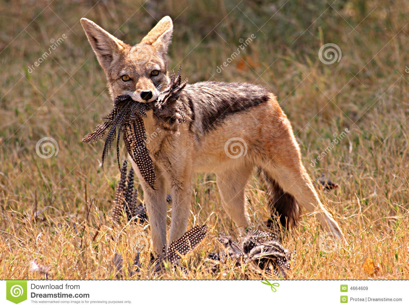 African Jackal Royalty Free Stock Images Image 4664609