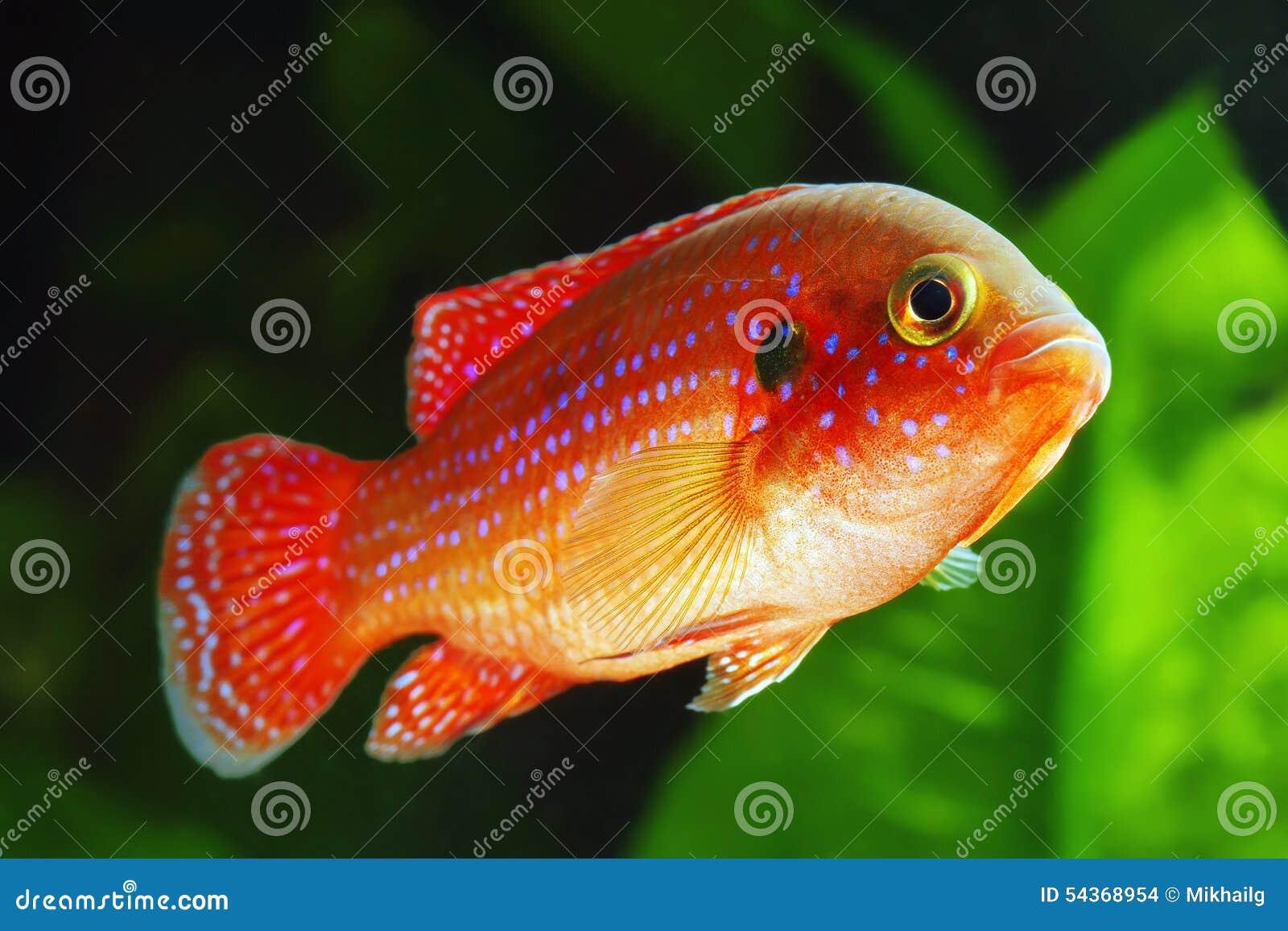 Freshwater jewel fish - African Jewelfish Stock Images