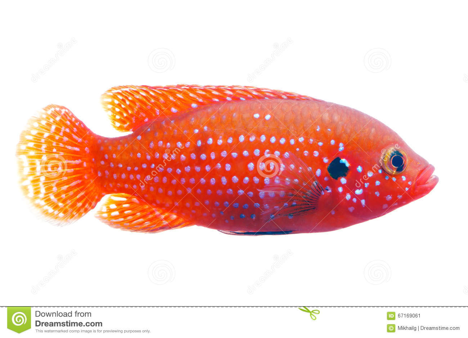 Freshwater jewel fish - African Jewelfish