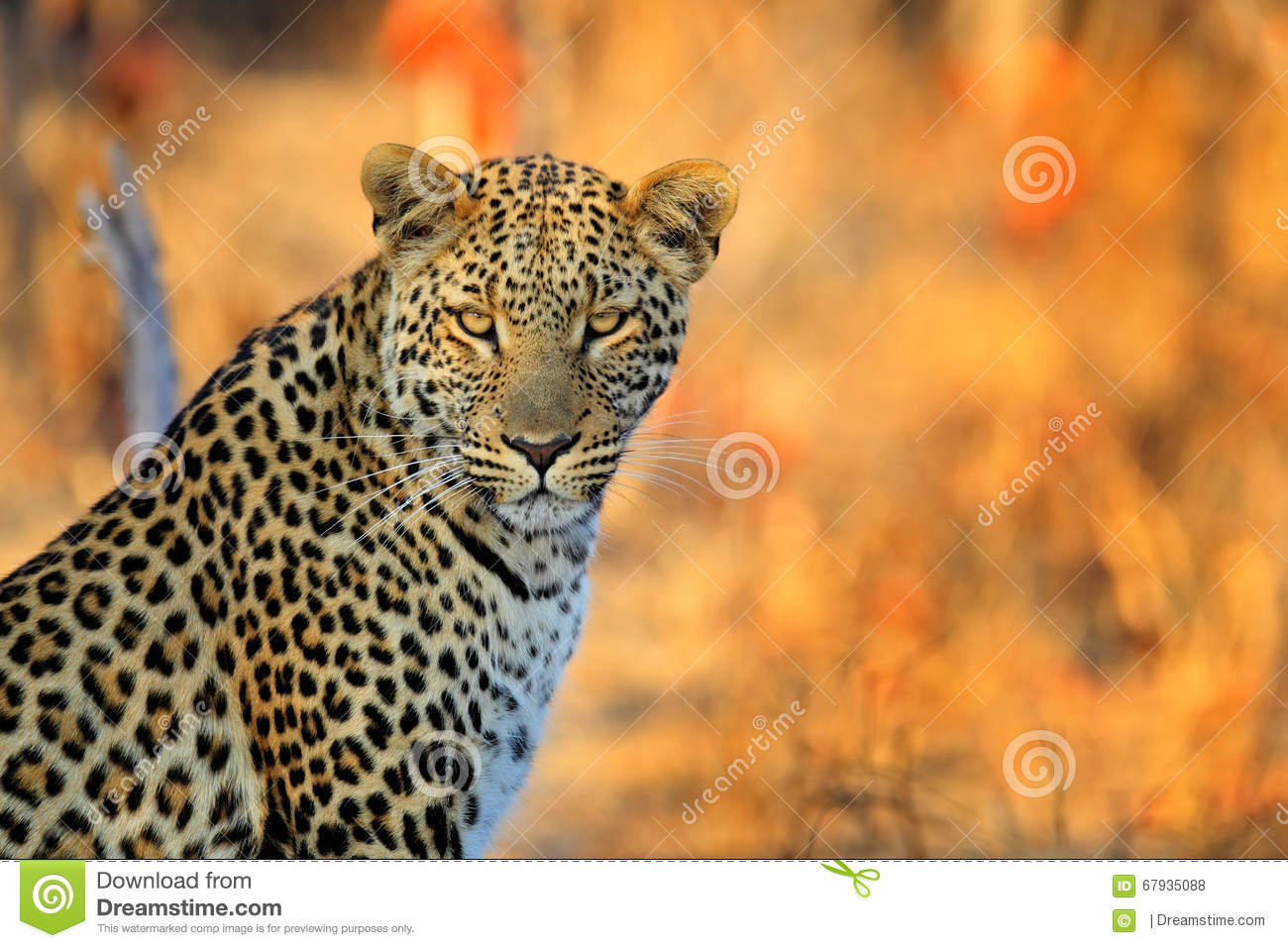 African Leopard, Panthera pardus shortidgei, Hwange National Park, Zimbabwe, portrait portrait eye to eye with nice orange backrou