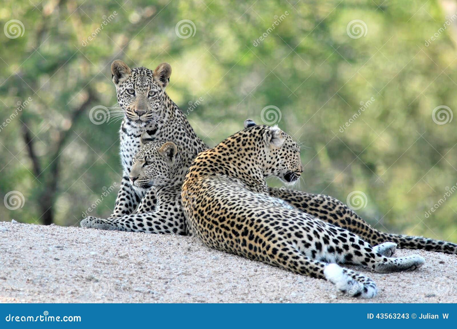 3 African Leopards together