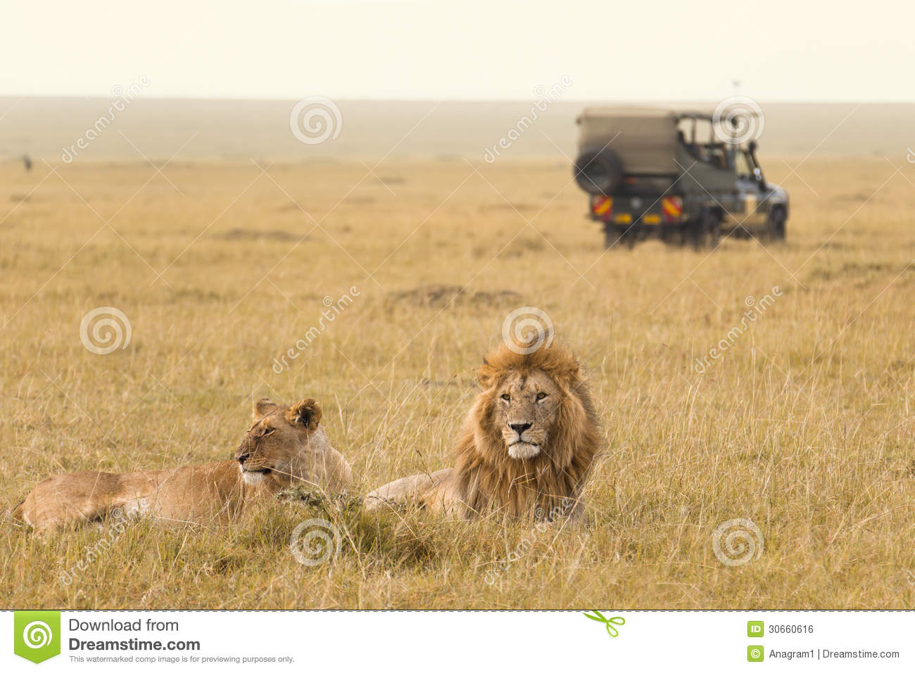 African lion couple and safari jeep