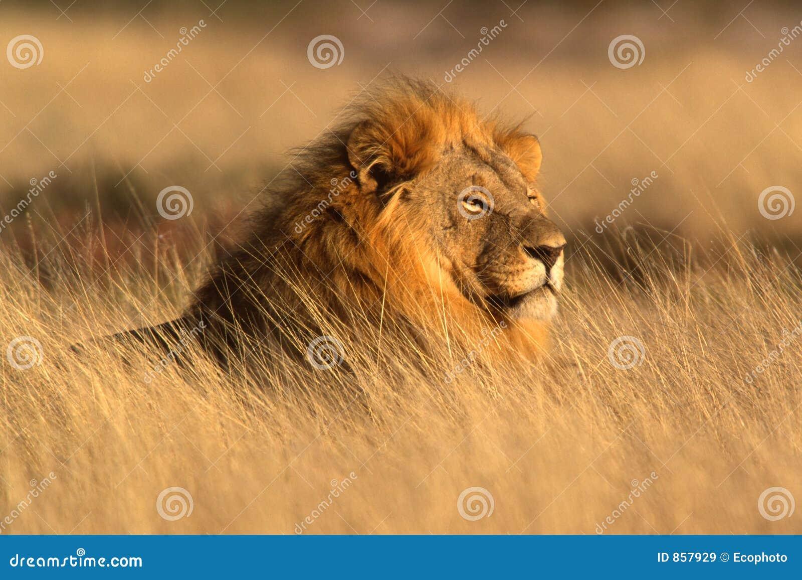 African lion, Etosha Park, Namibia