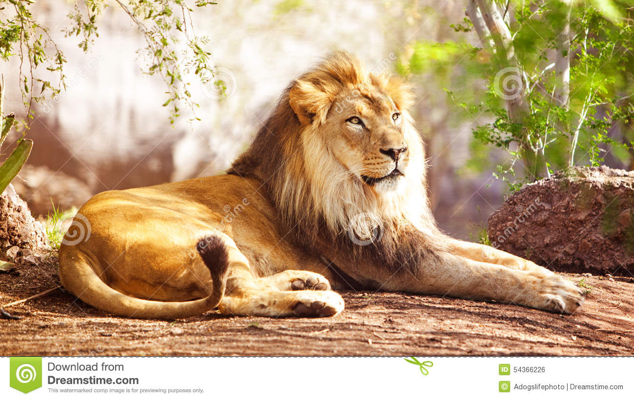 African Lion Laying In Forest Stock Photo - Image: 54366226