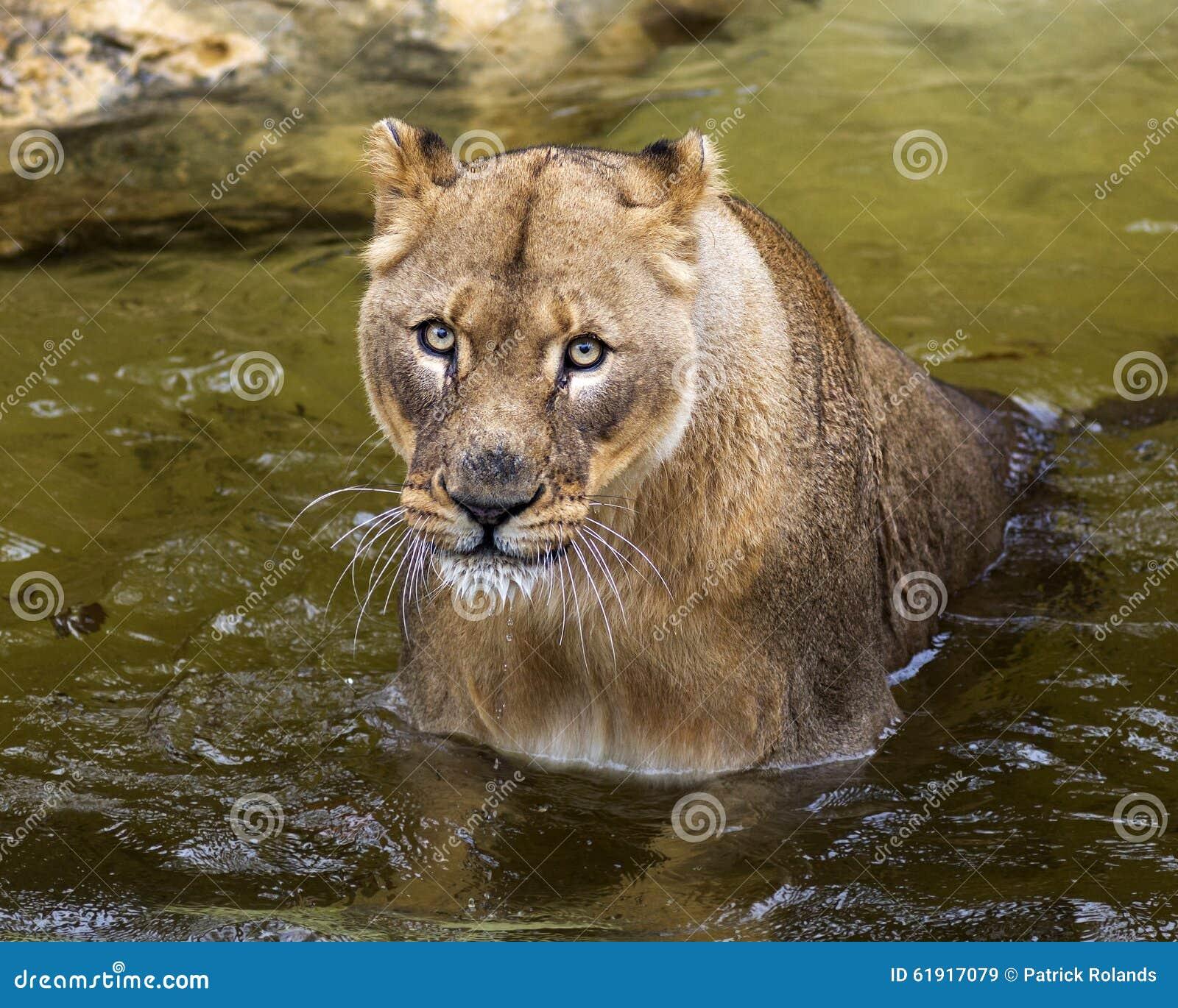 Lion Stream