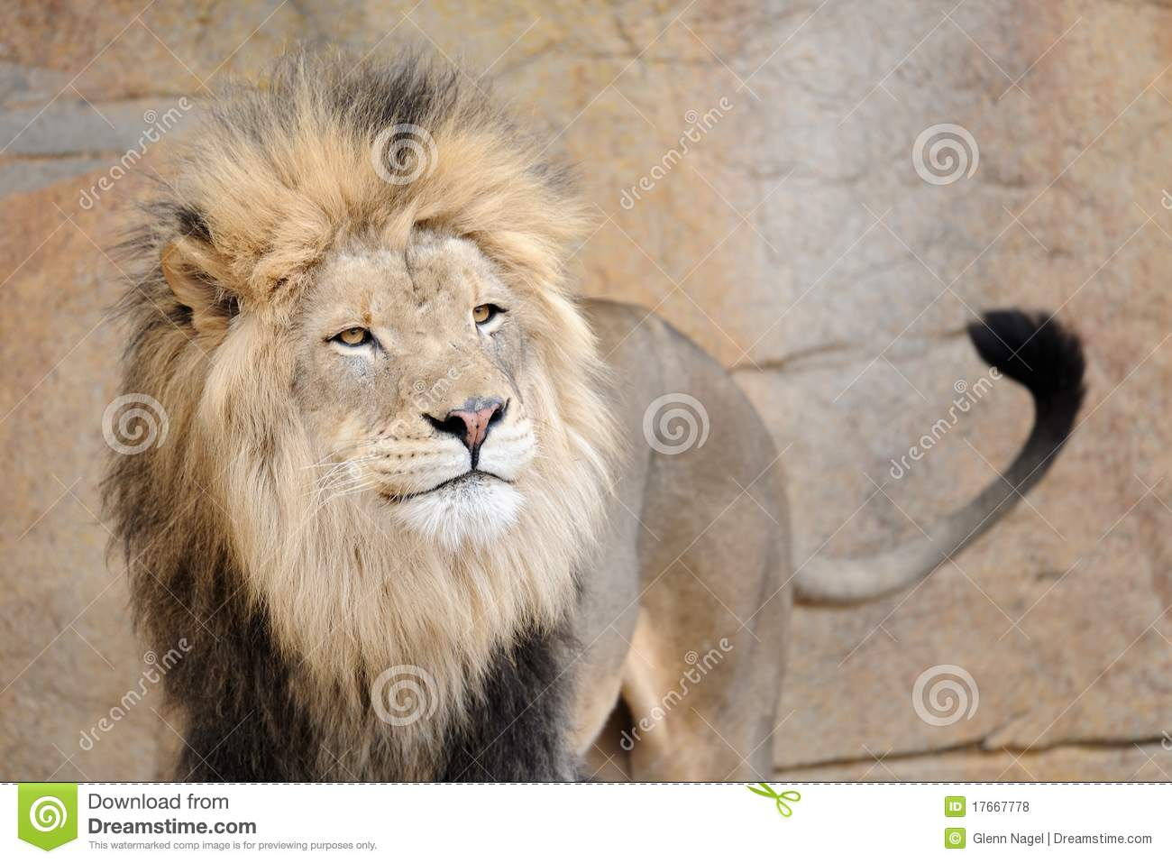 African Lion Wagging Tail Royalty Free Stock Photos - Image: 17667778