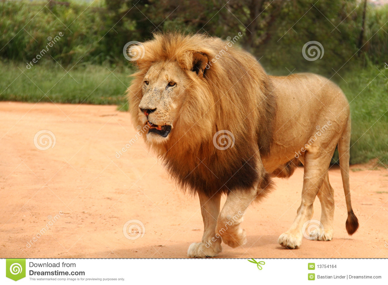african lion walking stock photo image of south game 13754164