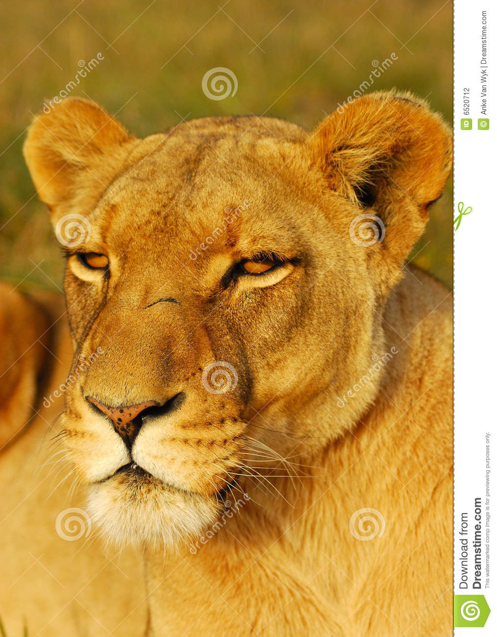 African Lioness Stock Photography - Image: 6520712