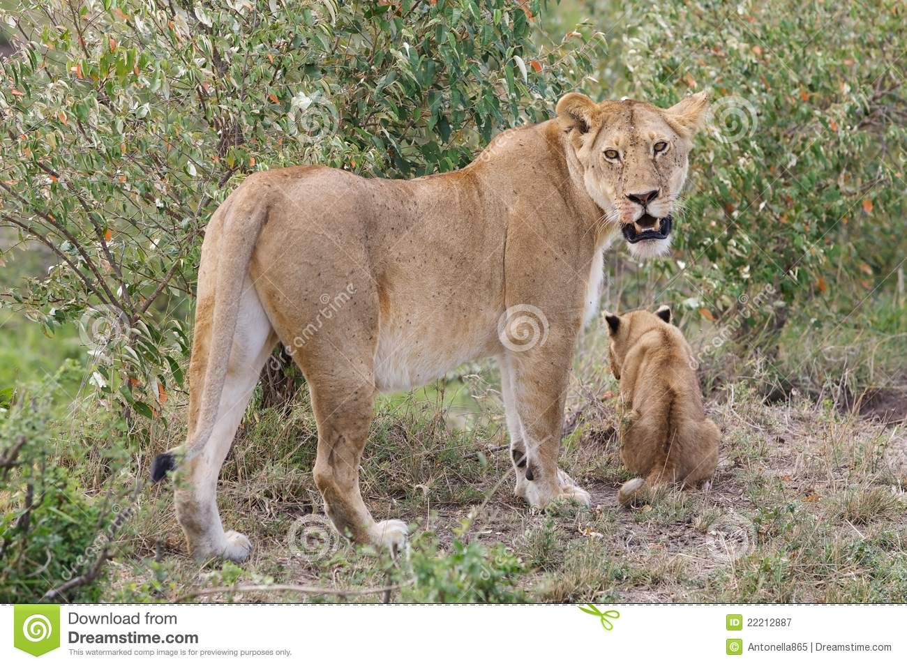African lioness and cub (Panthera leo)