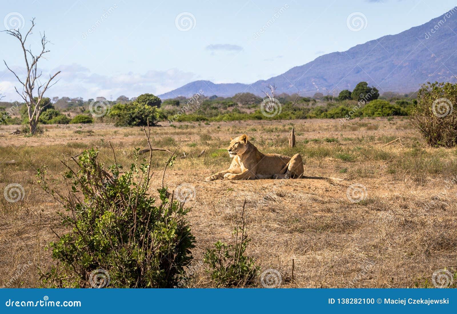 African lioness in Kenya
