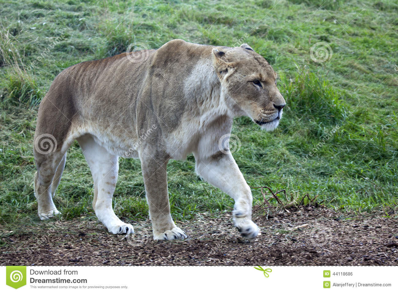 African Lioness