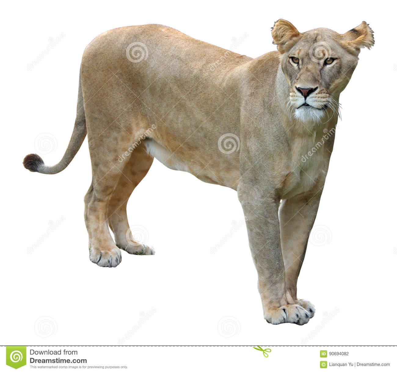 African lioness on white background
