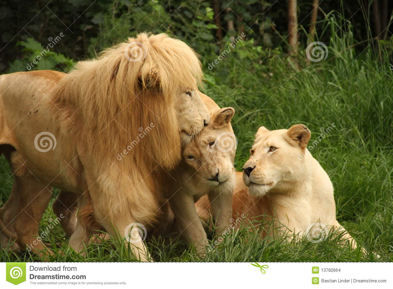 African lions in the grass