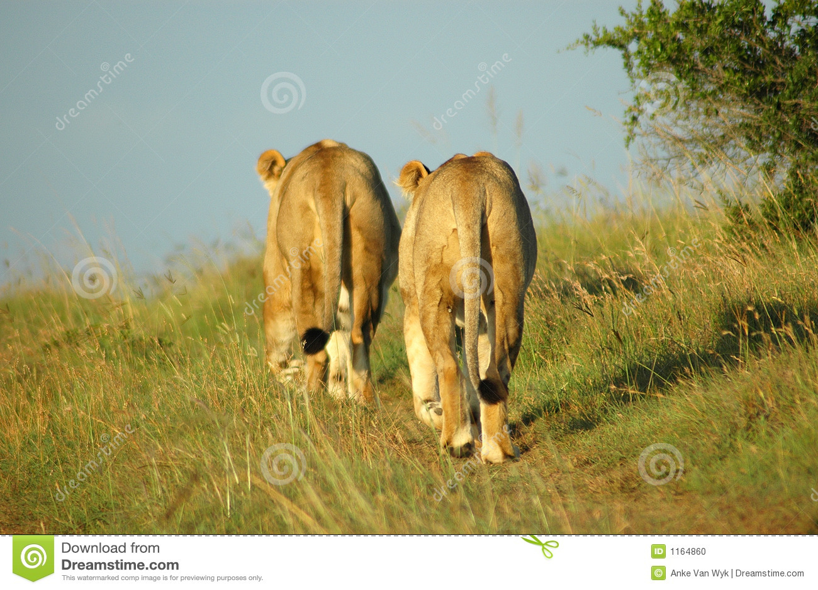 African lions in savanna