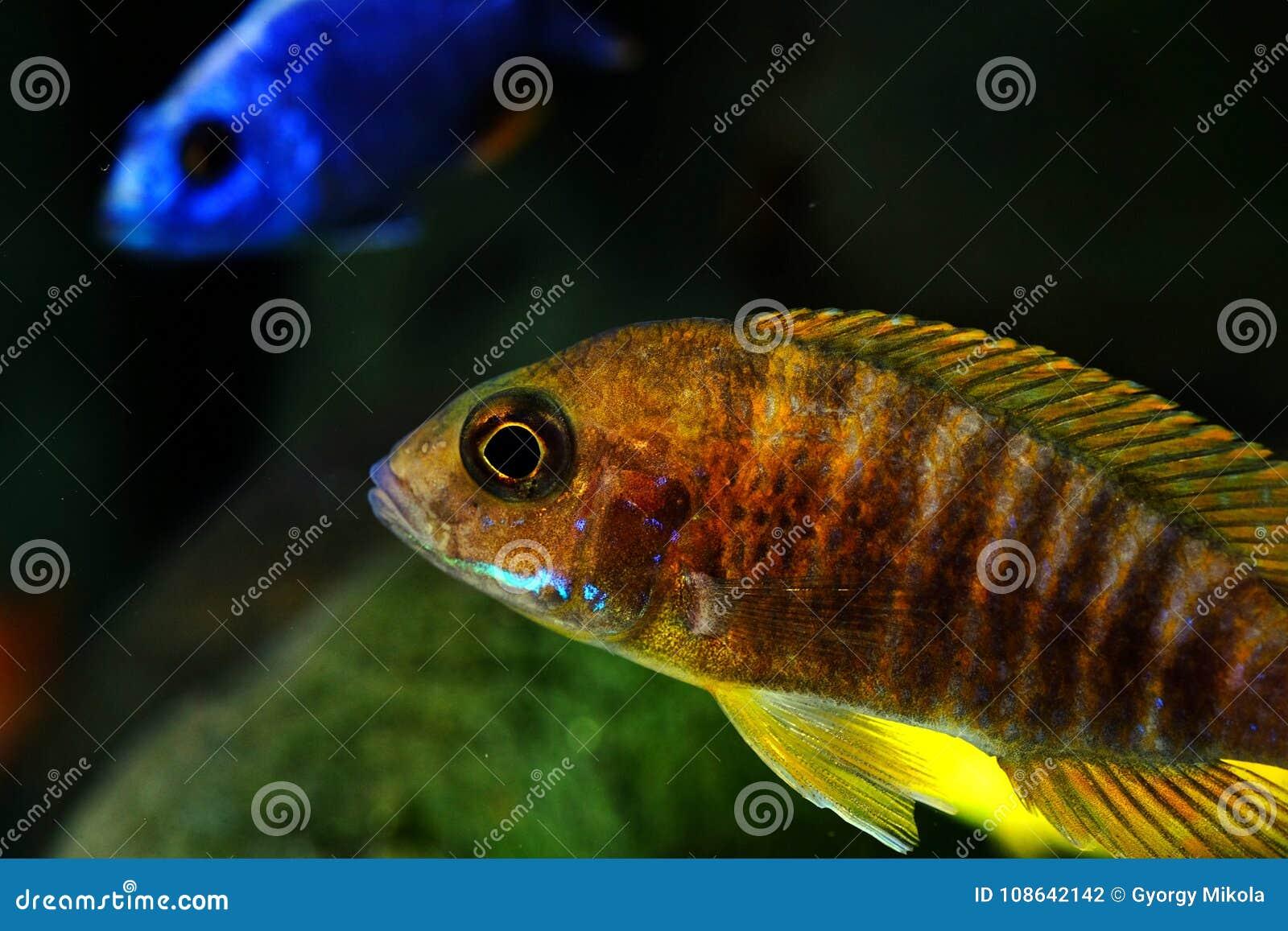 African Malawi Cichlid Aquarium Fish Freshwater Stock Photo Image
