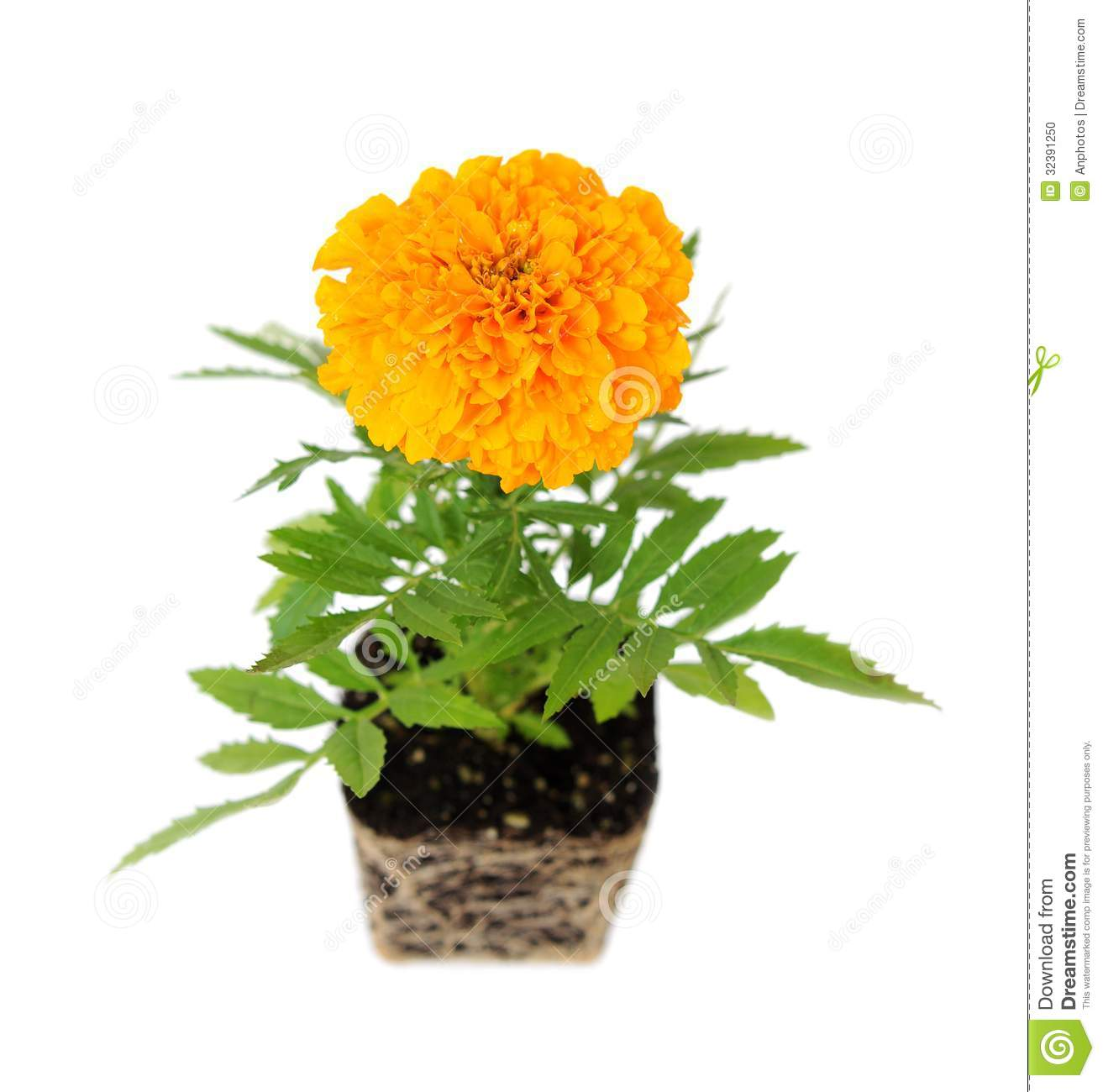 African Marigold Stock Photo - Image: 32391250 Marigold Plant With Roots