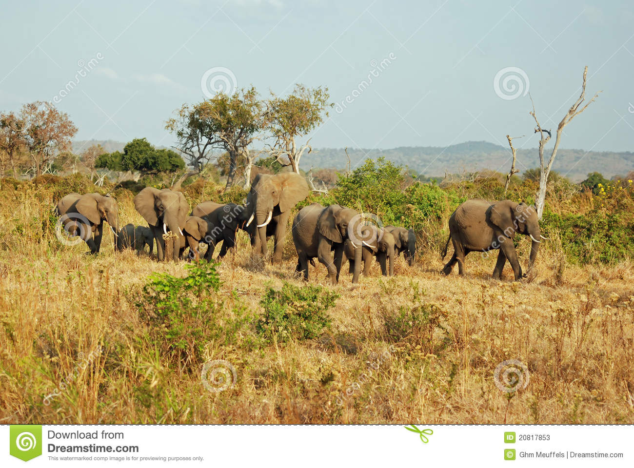 African miombo woodland with group elephants