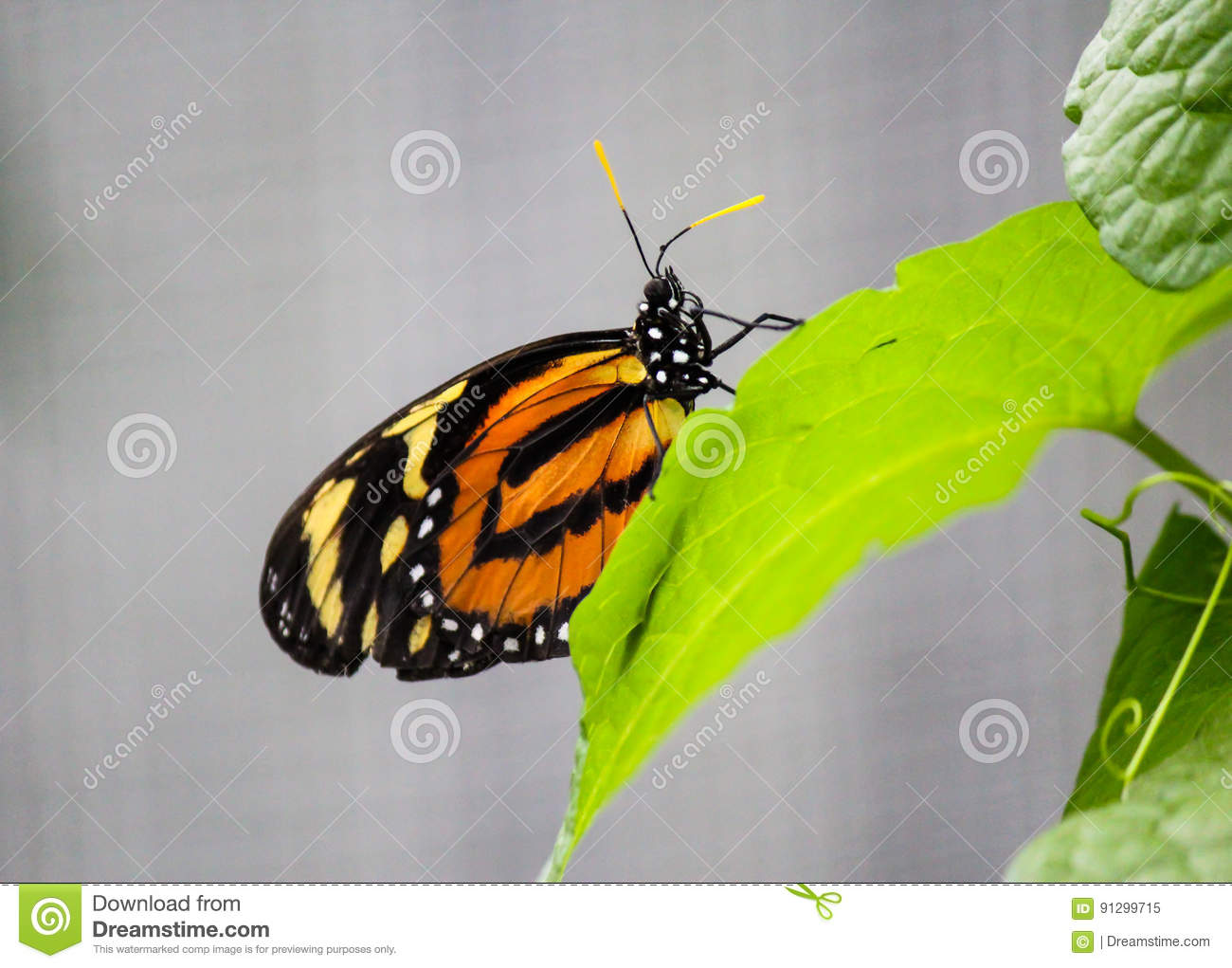 African Monarch butterfly on a leaf-Stock Photos