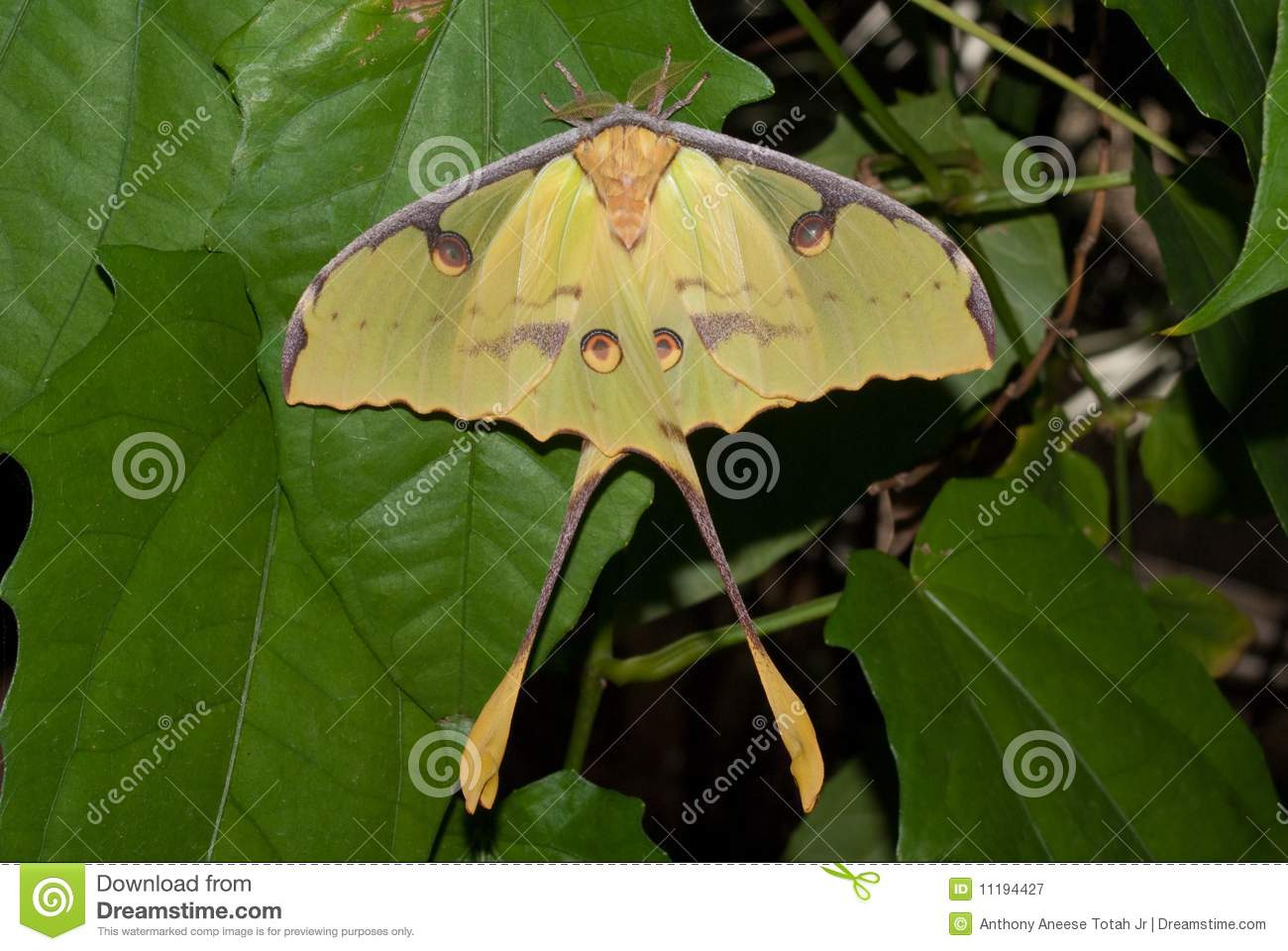 African Moon Moth (Argema Mimosae) Royalty Free Stock Photography ...