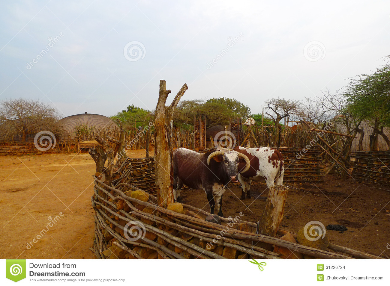 African Nguni Bulls At The Great Kraal In Zululand South Africa Stock Images Image 31226724